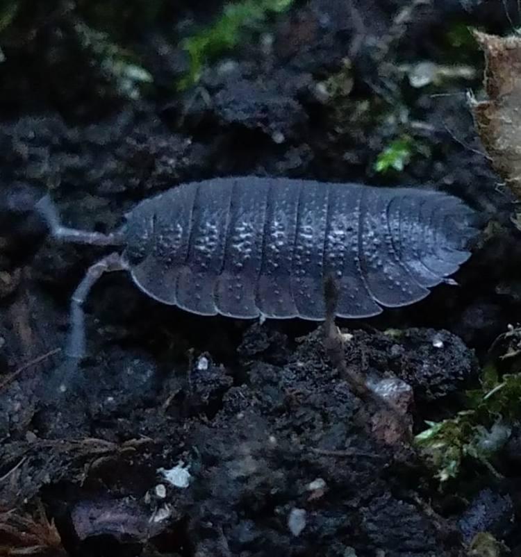 crustaceans of columbia county oregon millipedes centipedes rough woodlouse