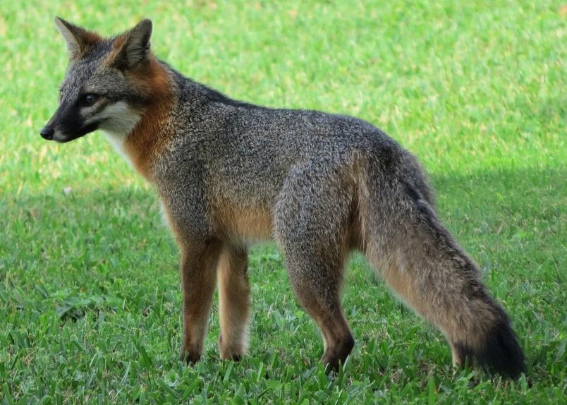 gray fox columbia county oregon