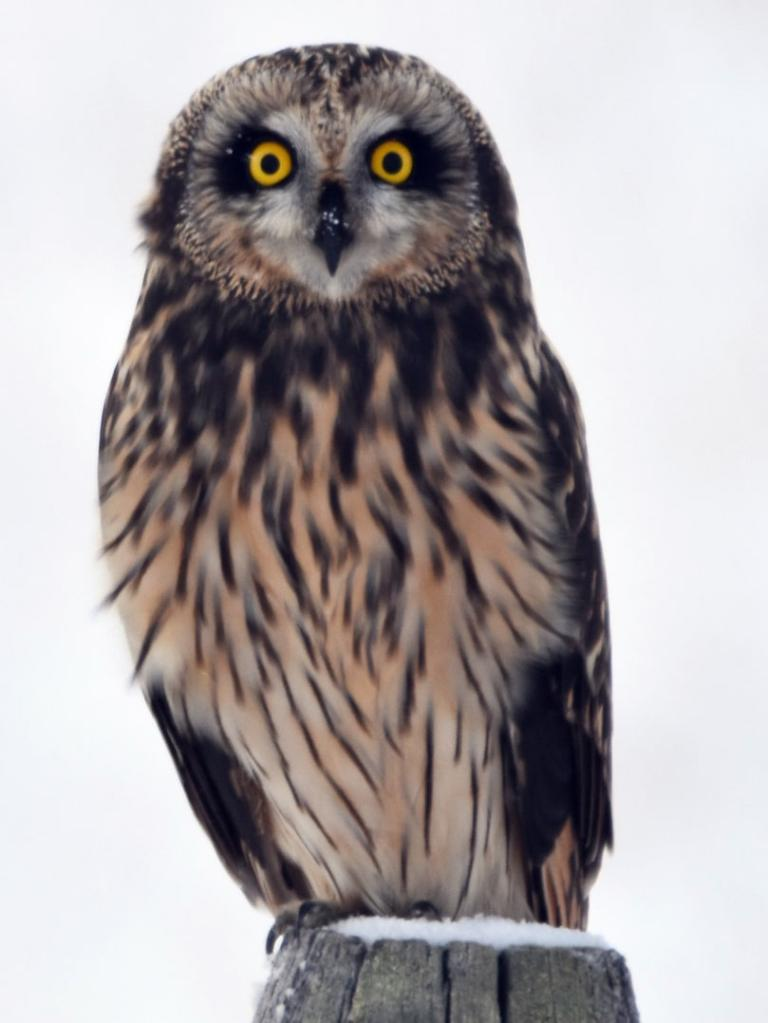 short-eared owl columbia county oregon