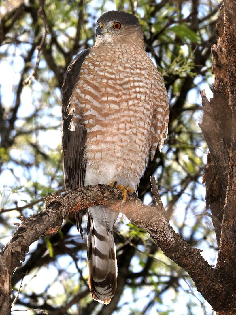 Cooper's hawk columbia county oregon