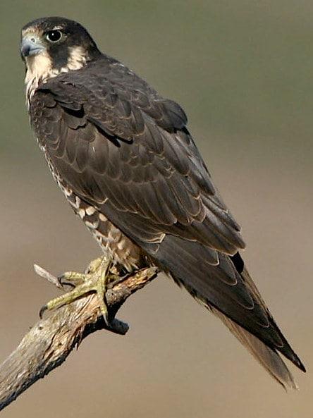 peregrine falcon columbia county oregon