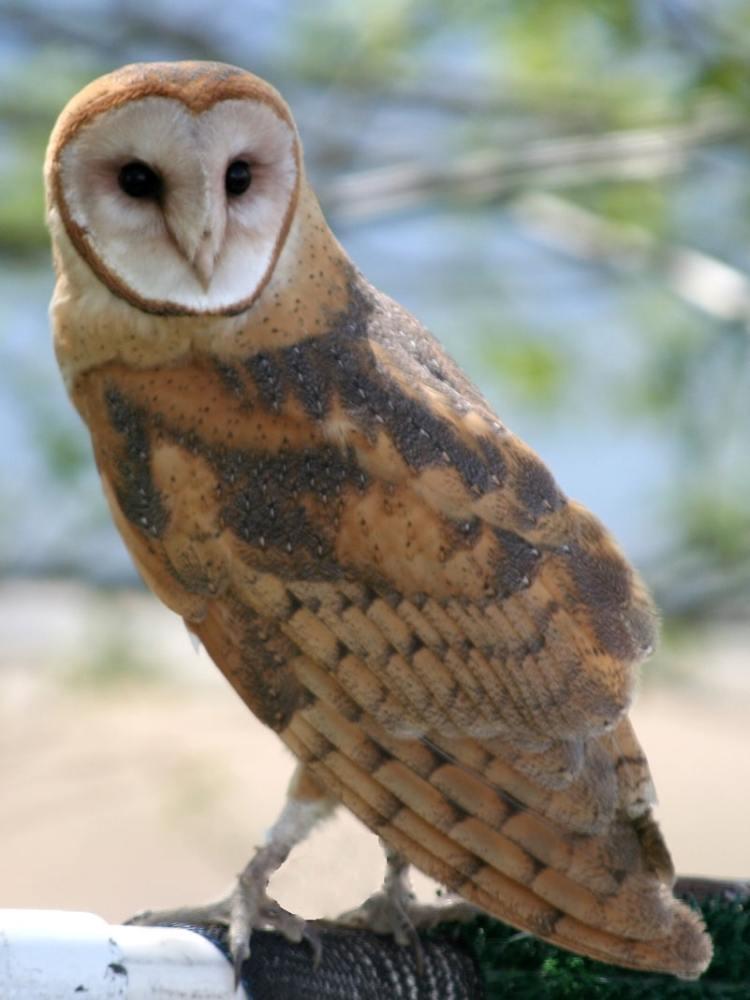 barn owl columbia county oregon
