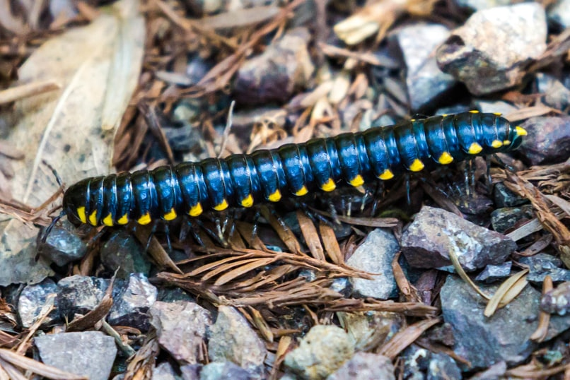 yellow-spotted millipede columbia county oregon