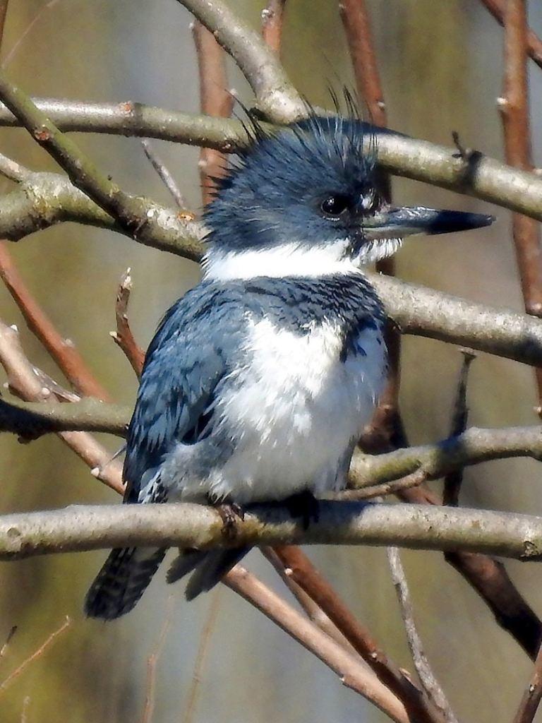 belted kingfisher columbia county oregon