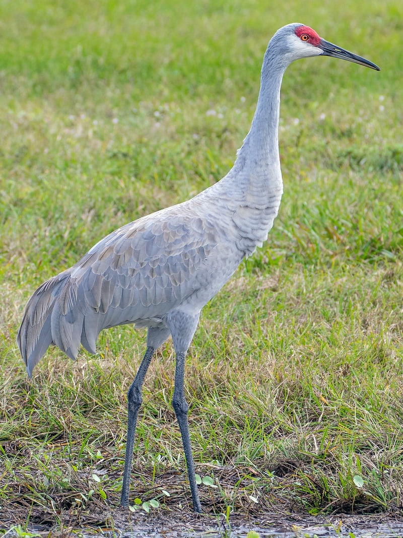 sandhill crane columbia county oregon