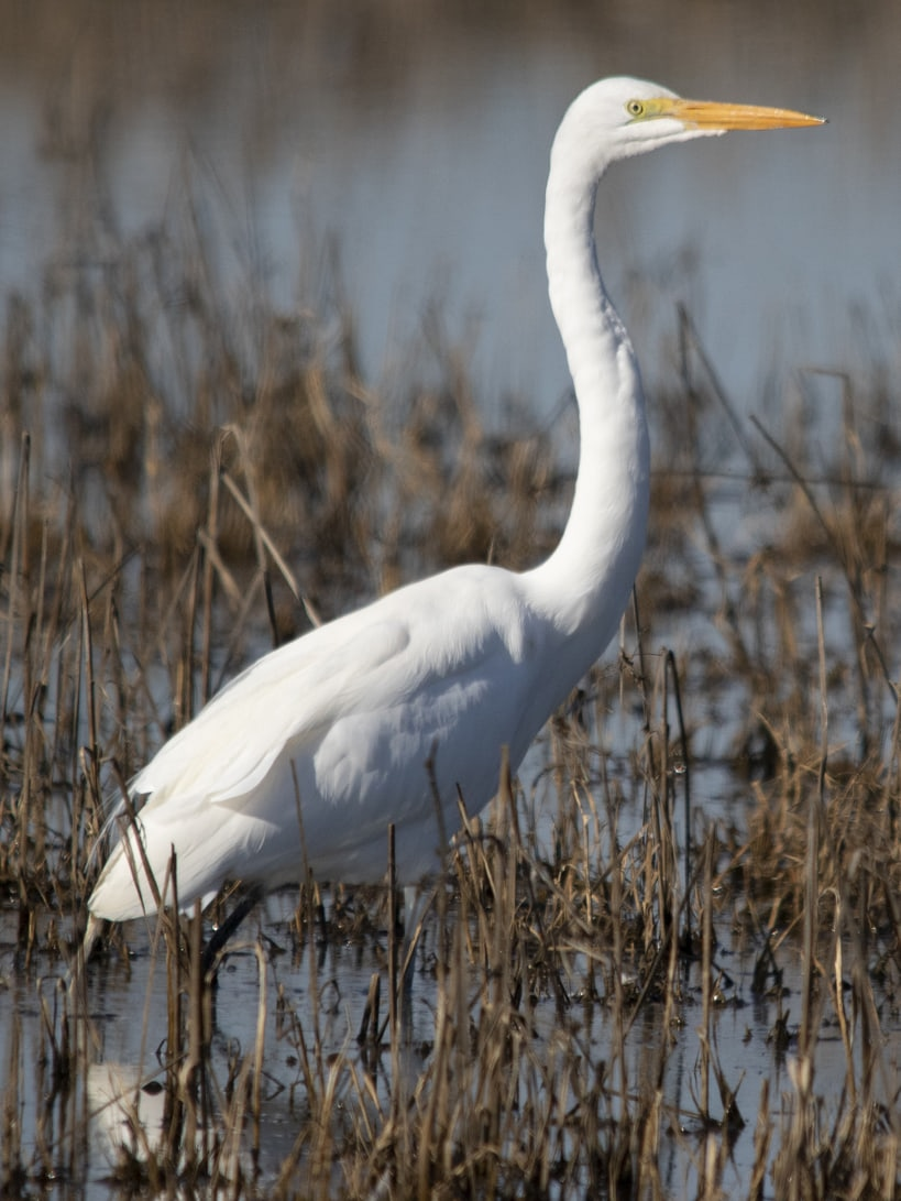 great egret columbia county oregon