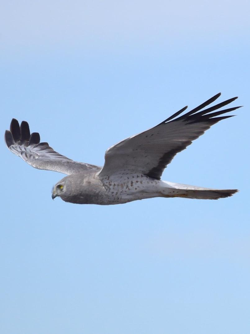 northern harrier marsh hawk columbia county oregon