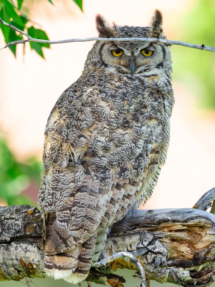 great horned owl columbia county oregon