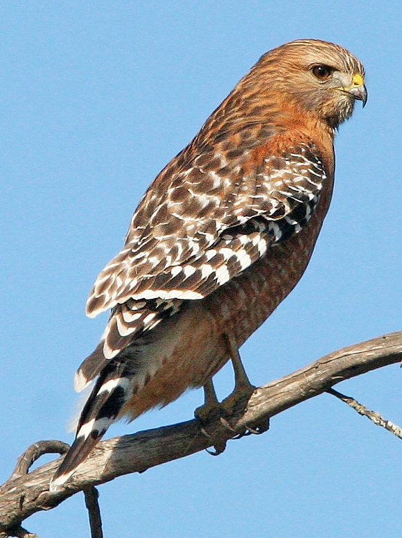 red-shouldered hawk columbia county oregon