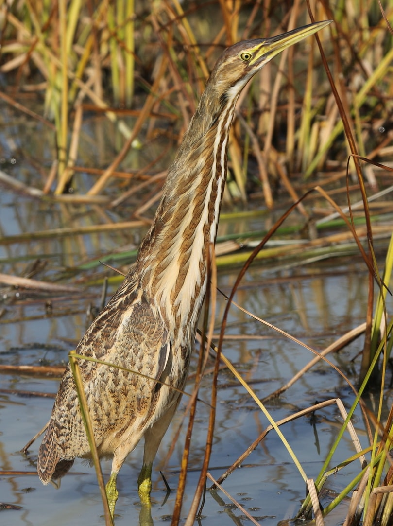 american bittern columbia county oregon