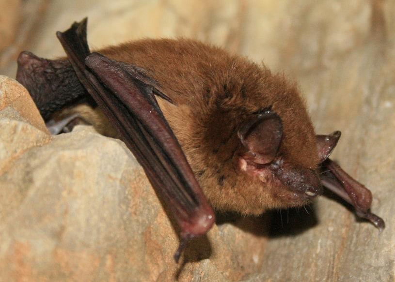 big brown bat columbia county oregon