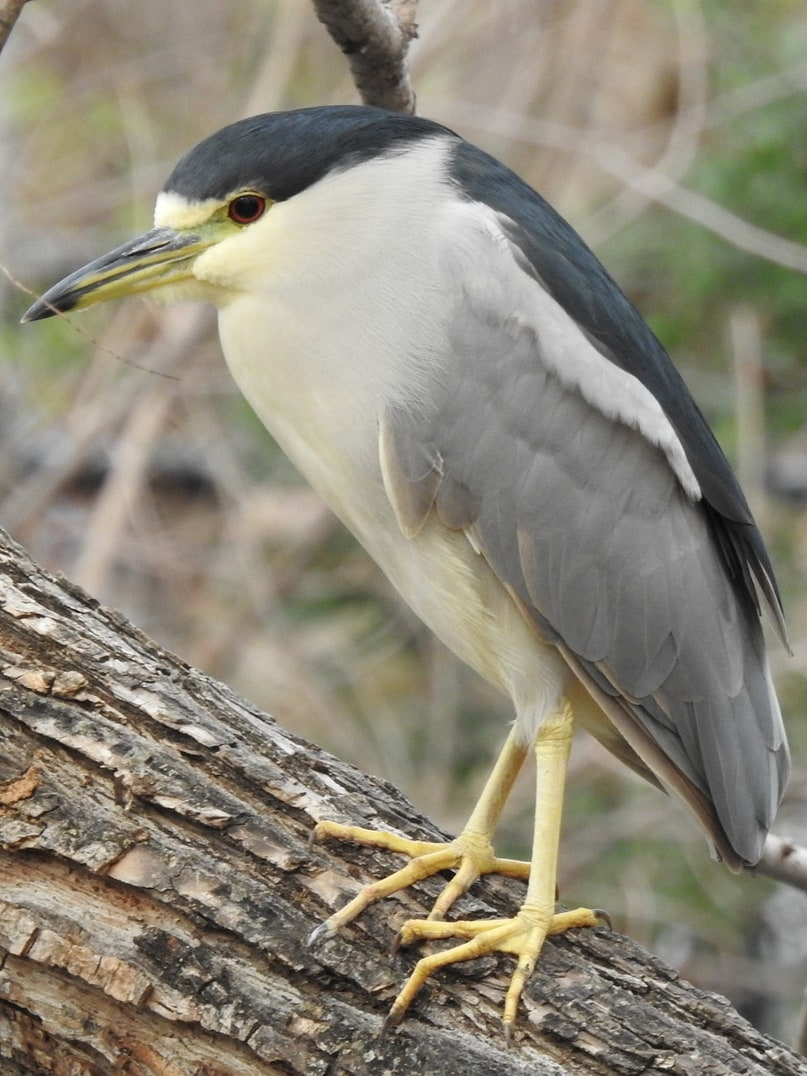 black-crowned night heron columbia county oregon