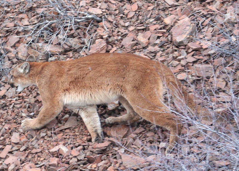 mountain lion cougar puma columbia county oregon