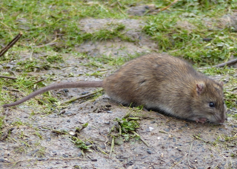 Brown Rat columbia county oregon