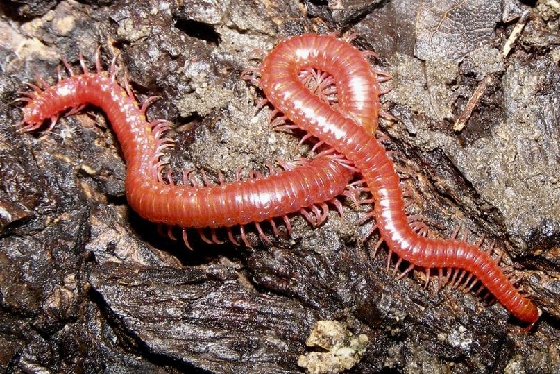 Crimson Soil Centipede Strigamia epileptica columbia county oregon