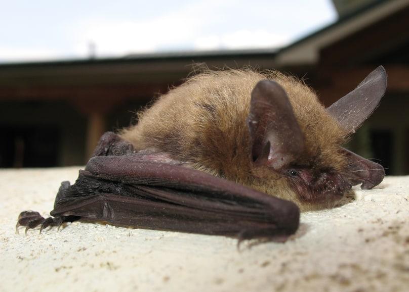 fringed myotis bat columbia county oregon