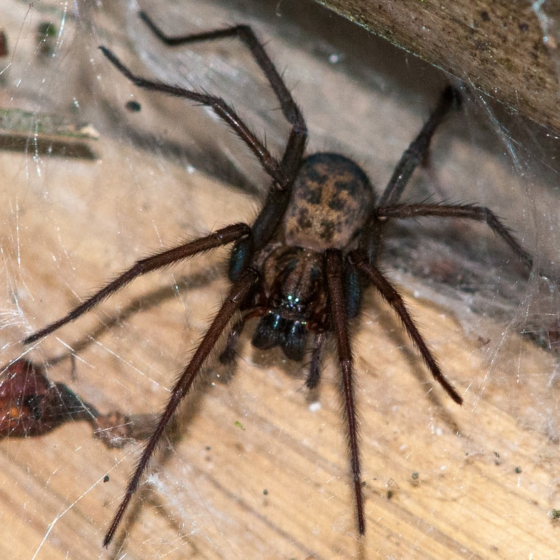 Giant house spider oregon columbia county
