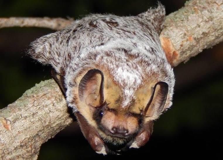 hoary bat Columbia county oregon