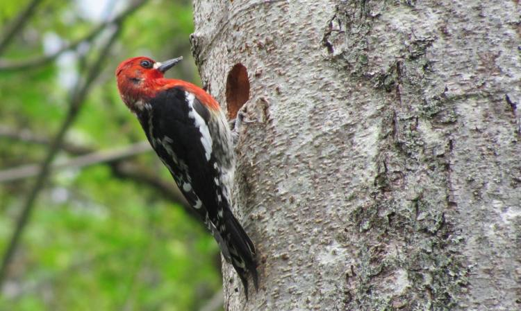 red-breasted sapsucker mccormick park st. helens oregon columbia county