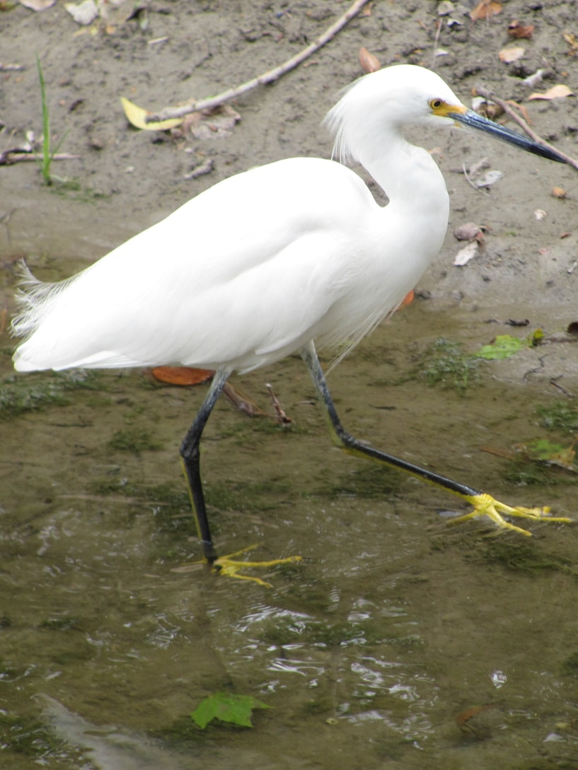snowy egret columbia county oregon
