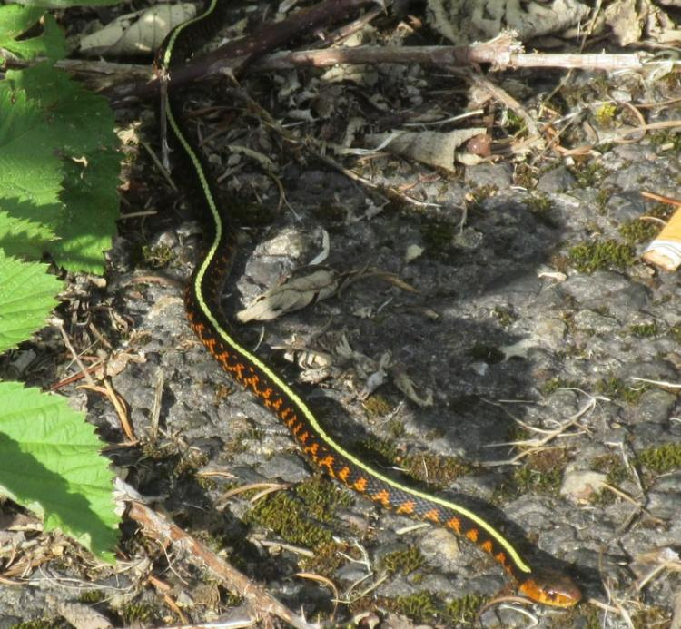 red-spotted garter snake cz trail chapman landing scappoose oregon