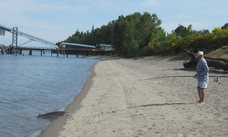 trestle beach white sturgeon fisherman columbia county city oregon