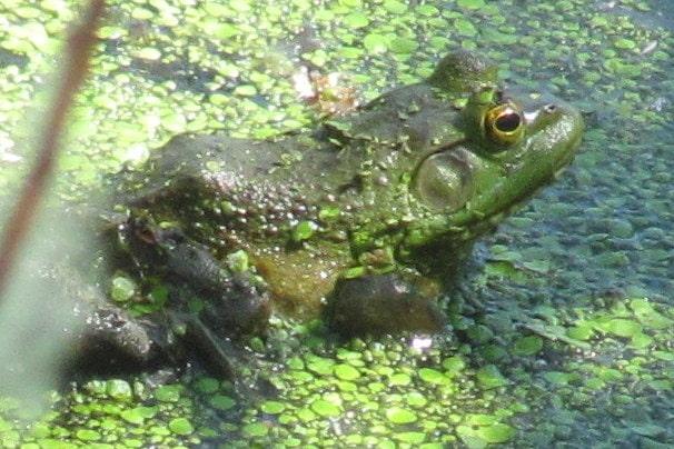 american bullfrog columbia county oregon