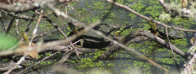 western painted turtle cz trail chapman landing scappoose oregon