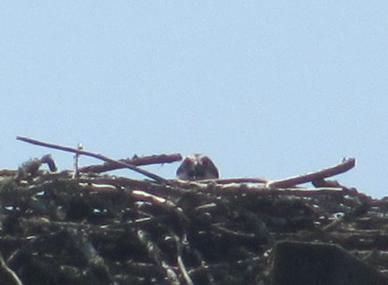 osprey nest baby chapman landing scappoose cz trail