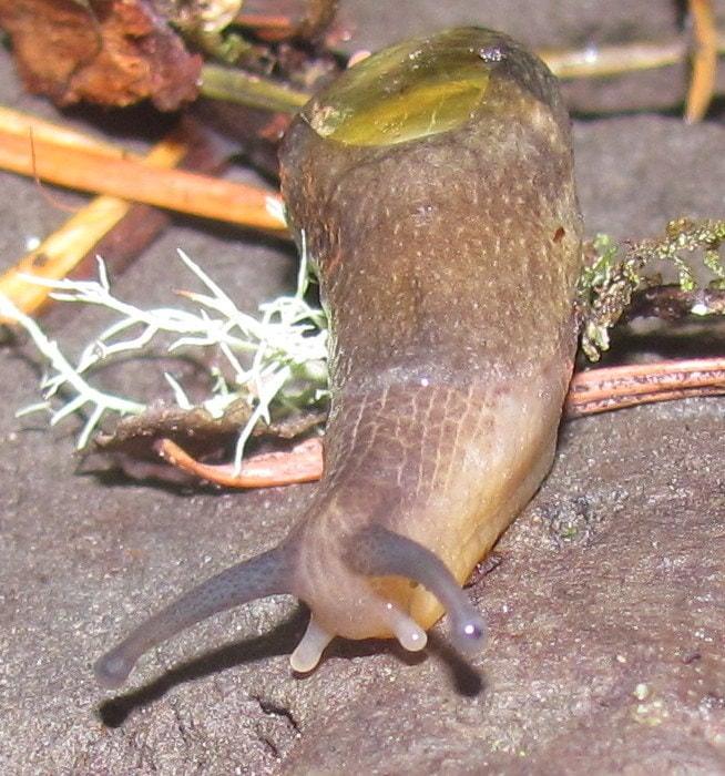 columbia county oregon mollusk guide Dromedary Jumping-Slug Hemphillia dromedarius