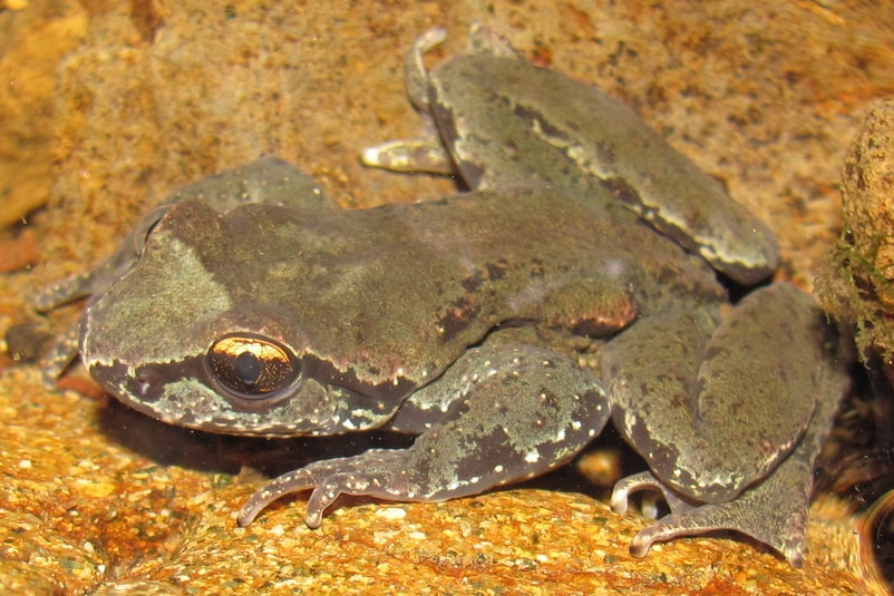 coastal tailed frog columbia county oregon