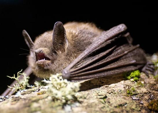 little brown bat myotis columbia county oregon