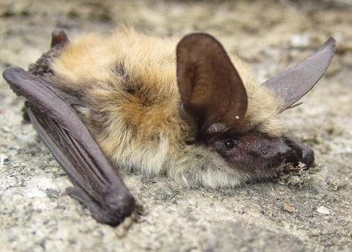 long-eared myotis bat columbia county oregon