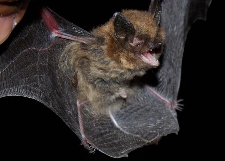 long-legged myotis bat columbia county oregon