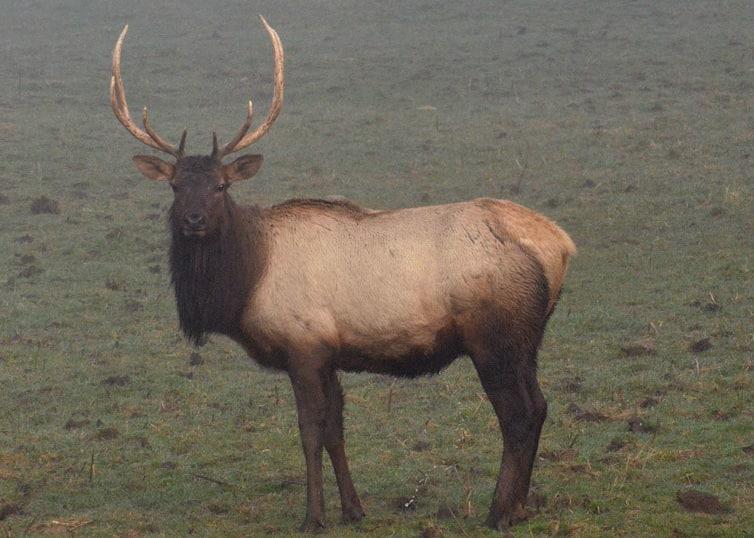 roosevelt elk columbia county oregon
