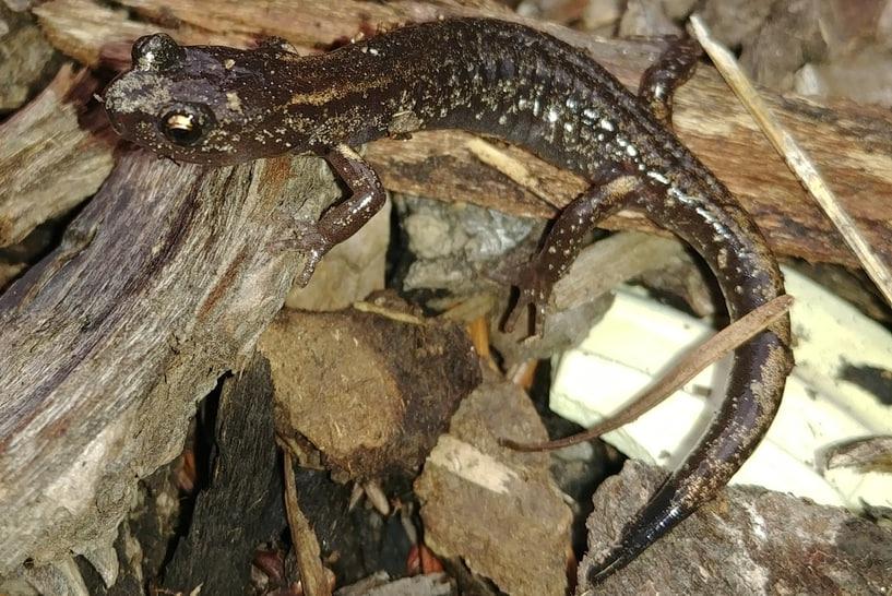 clouded salamander columbia county oregon