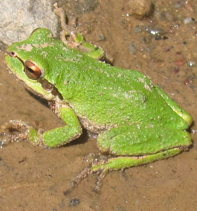 amphibians of columbia county oregon guide pacific treefrog