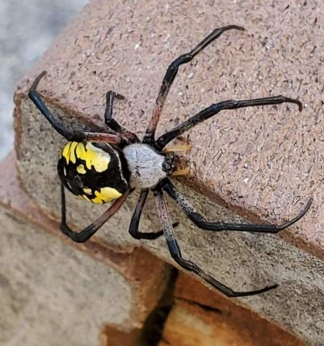 columbia county oregon arachnid guide Yellow Garden Spider Argiope aurantia