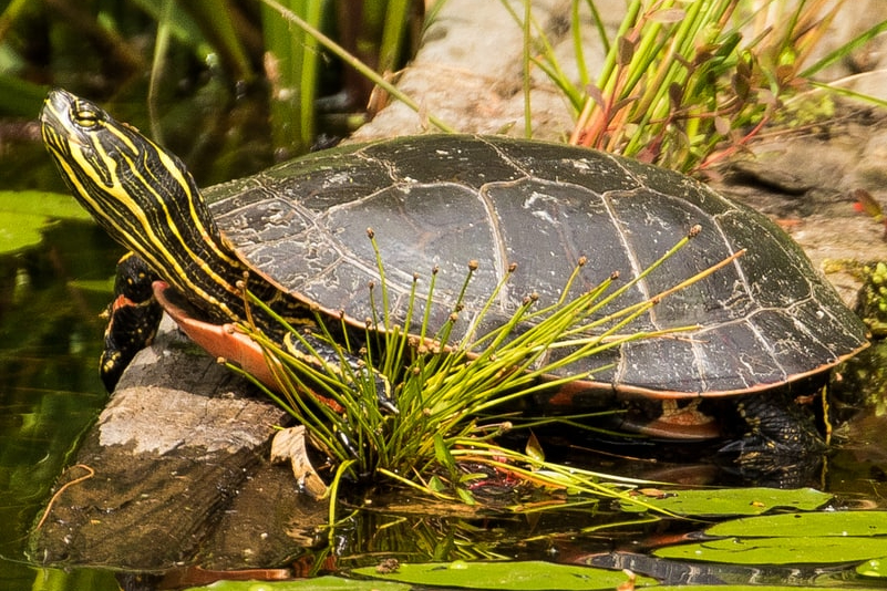 western painted turtle columbia county oregon