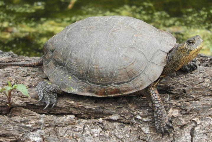 western pond turtle columbia county oregon