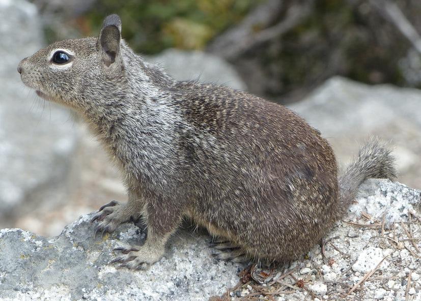 California ground squirrel columbia county oregon