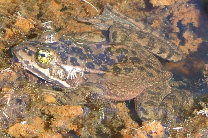 oregon spotted frog columbia county oregon