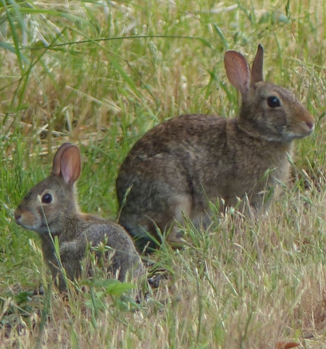 columbia county oregon mammal guide Brush Rabbit Sylvilagus bachmani
