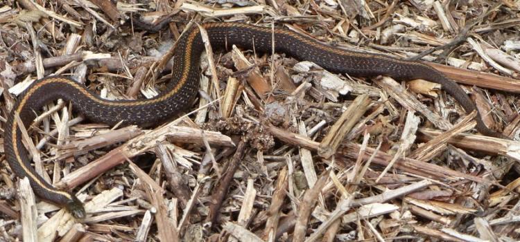 northwestern garter snake cz trail chapman landing scappoose oregon