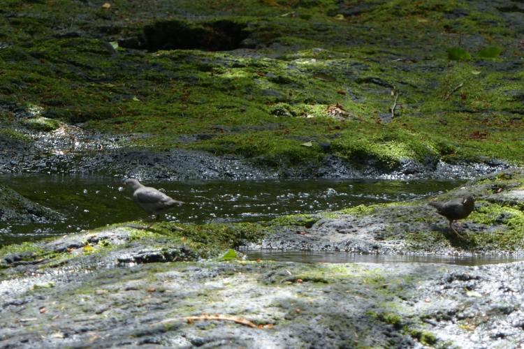 dipper gnat creek oregon