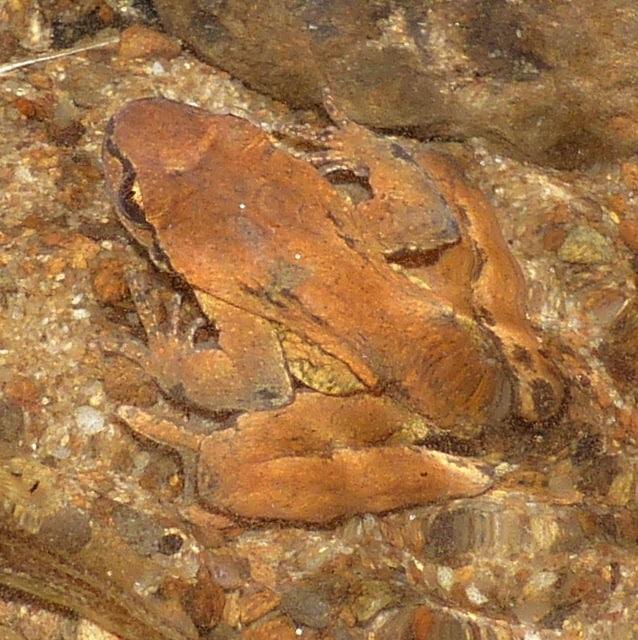 coastal tailed frog gnat creek trail oregon
