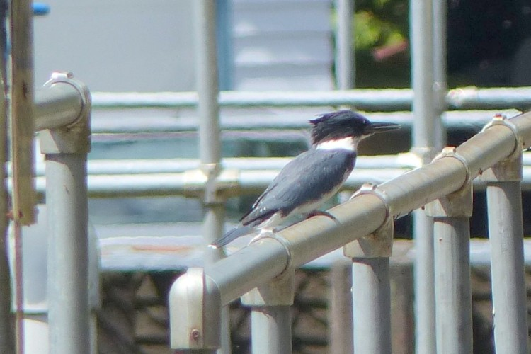 belted kingfisher oregon gnat creek hatchery