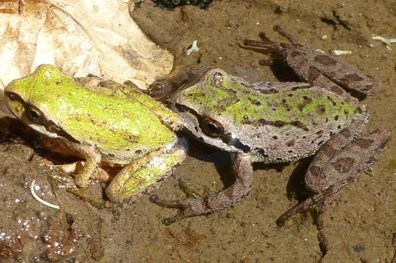 northern pacific treefrog chorus columbia county oregon