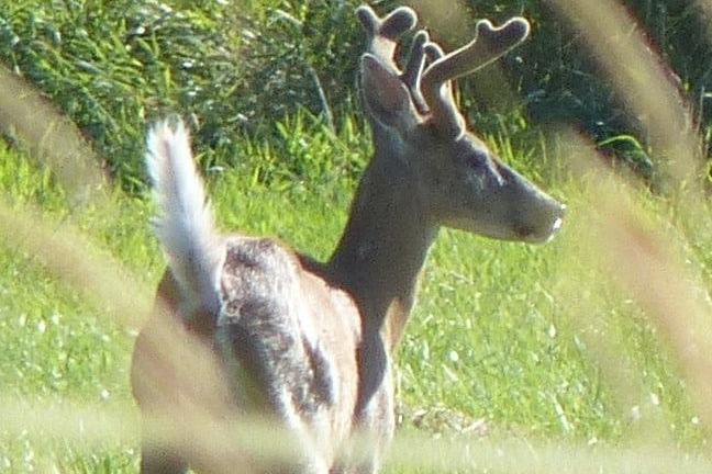 Wildlife guide to Columbia County Oregon white-tailed deer