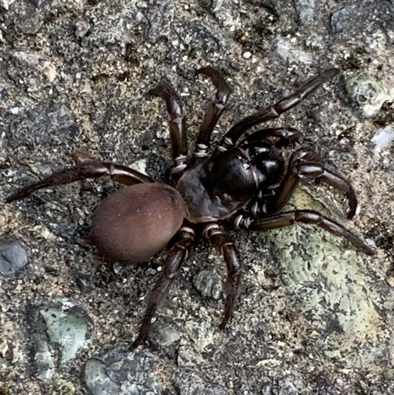 pacific foldingdoor spider oregon columbia county